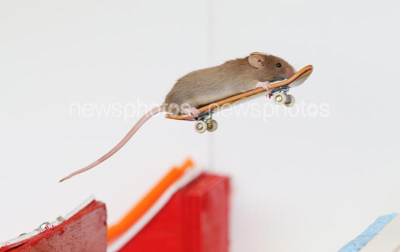 Skateboarding Mice On The Gold Coast
