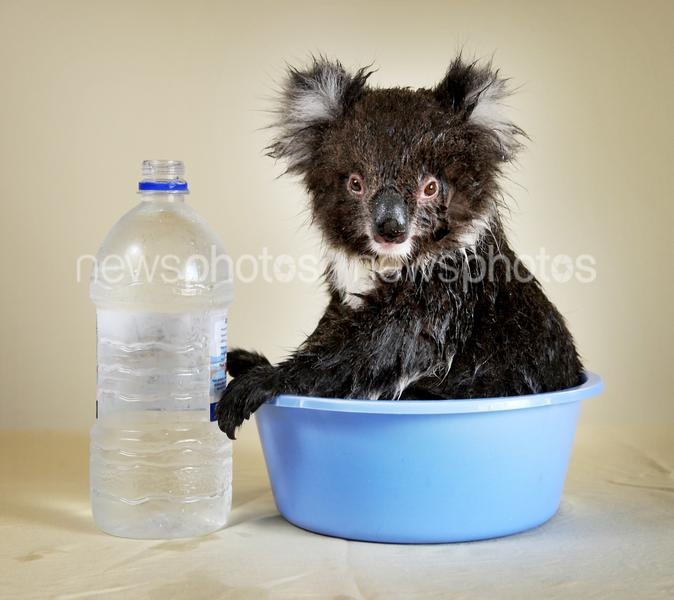 'Meadow' The Koala Cools Off In Adelaide