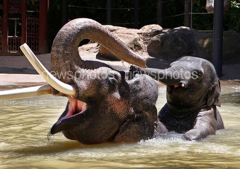 Male Elephants Bond At Melbourne Zoo