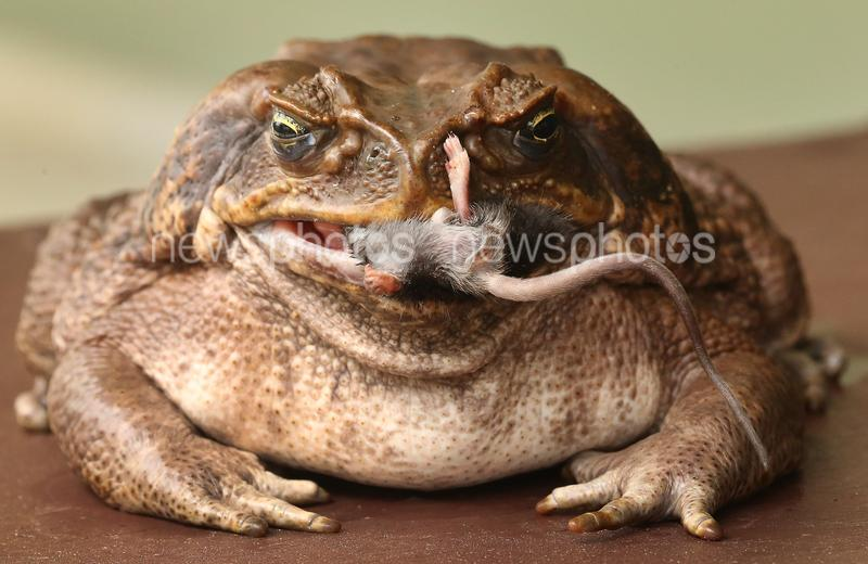 'Fifi' The Resident Cane Toad At Dreamworld