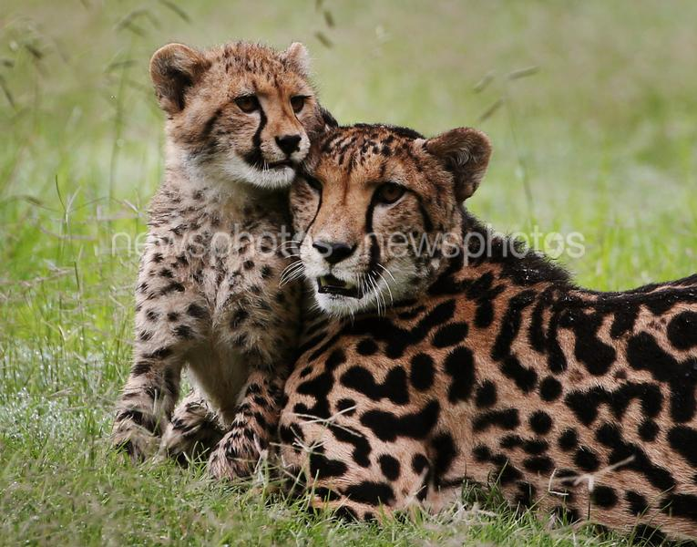Cheetah Cubs At Taronga Western Plains Zoo