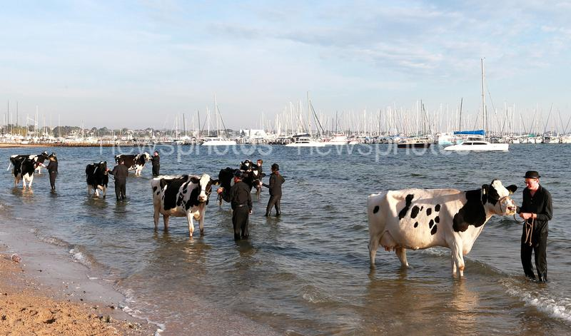 Friesian Cows Take Part In Surrealist Photo Shoot