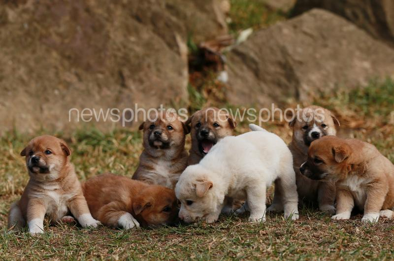 Dingo pups at Featherdale wildlife park