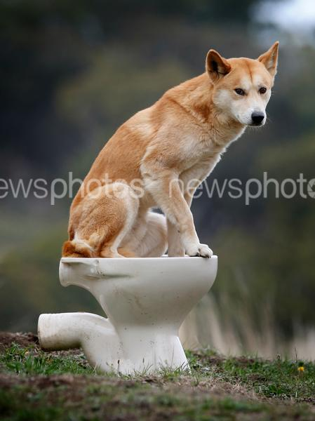 Dingo Urine Used To Deter Foxes And Possums
