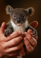 Archer the 8-month-old orphaned joey koala