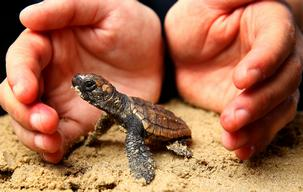 Baby Loggerhead Sea Turtles In Coffs Harbour