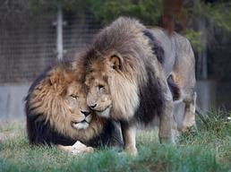 Lions Moved To New Enclosure At Melbourne Zoo