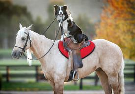 Border Collie Trains Stunt Horses In Melbourne