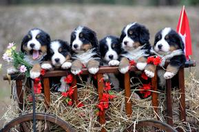 Alpenhund Bernese Mountain Dog Puppies