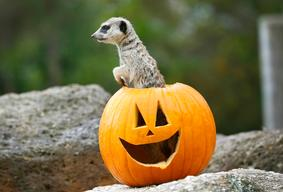 Meerkat Halloween Exhibit At Werribee Zoo