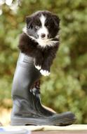 4-Week-Old Border Collie Pup 'Ralph'