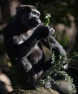 Female gorilla Kimya is pregnant